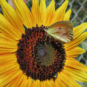 Butterfly on a Sunflower by Johnny Knight - Novices Only Flowers & Plants ( butterfly, creative, petals, texture, sunflower, yellow, pollination, insect, pollen, nature, summer, brown, garden )