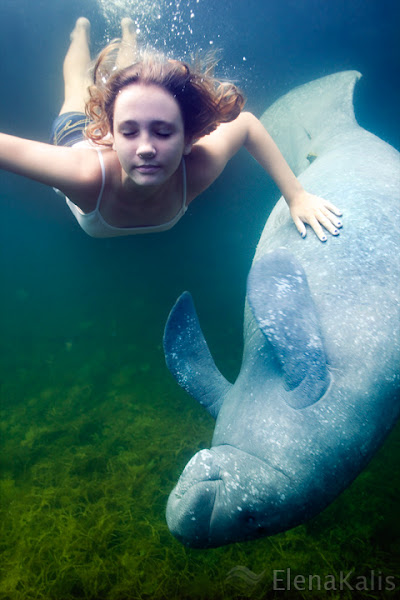 Photo: Manatees are not native to the Bahamas and are typically found in freshwater, brackish and saltwater habitats in Florida. In the summer Manatees can travel vast distances. It is also possible that an animal from the Florida stock of manatees got caught in a current, and was carried into the Bahamas across the Gulf Stream. There are only a handful of manatees around the Berry Islands where is not that much naturally occurring fresh water but enough vegetation to feed on. These animals are in the wild and will swim and play with people if they feel like it (not that they have a lot of chance to do so as there are just a handful of people as well :)