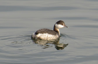 Photo: Horned grebe
