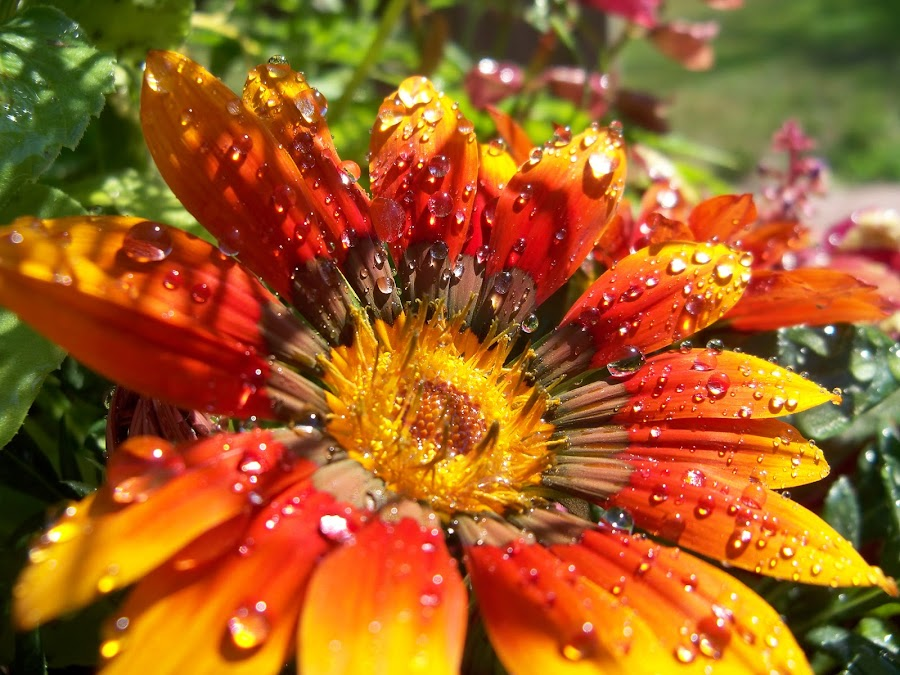 Gazania in the Morning by Brittany VeltKamp - Nature Up Close Flowers - 2011-2013