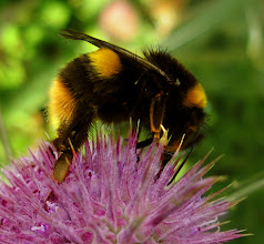 Photo: Bumble Bee on Teasel