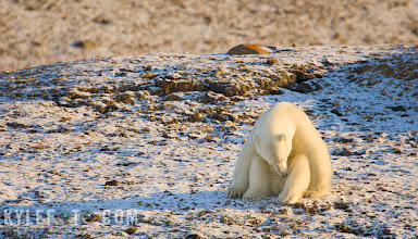 Photo: Lone Polar bear  Croker Bay, Canadian Arctic. This bear saw us, as we saw him from very far away. Being quite hungry and curious he trundled down the hillside to get a closer look (and whiff) of us.   The bear was definitely intrigued, as he would sniff the air the way I would outside a bakery full of freshly made pies, because to him we were nothing but gore tex wrapped seals. We were cautious to keep distance in our zodiac, I had to stay in reverse as the wind was blowing us and our scent directly towards him.  Between bouts of sniffs he would sit like this motionless, as if he wasn't a problem and we could let our guard down, it was certainly a funny position to be in.