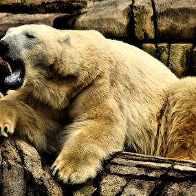 Koda's Yawn by Amanda Westerlund - Animals Other Mammals