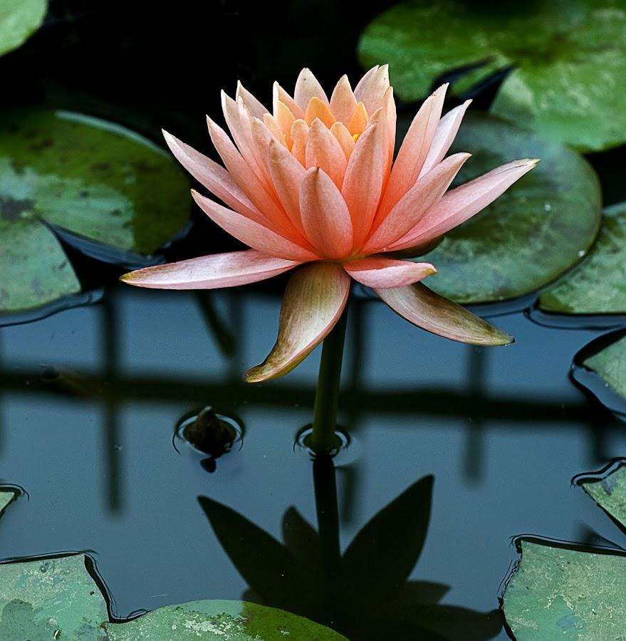 Lotus by Shobin George - Nature Up Close Flowers - 2011-2013 ( lotus,  )