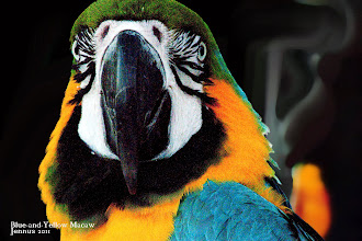 Photo: ARA Blue-and-Yellow Macaw