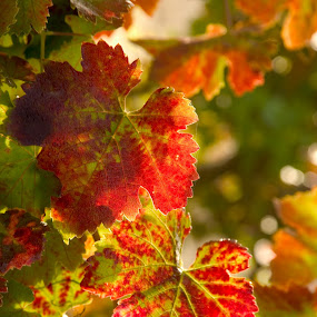 Fall grape leaves. by Christine Lester-Deats - Nature Up Close Leaves & Grasses ( vineyard, red, grapes, grape leaves, fall )