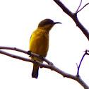 Olive-Backed Sunbird Female?