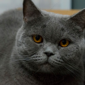 nicky by Edu Marques - Animals - Cats Portraits ( gato, cats, cat, cat eyes, cat portrait, photography, animal )
