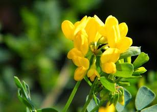 Photo: 08.01.2016 : la coronille en fleurs au jardin !