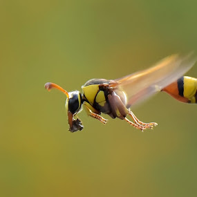 Fly Alone by Balox Berhati Nyaman - Animals Insects & Spiders ( macro, nature, fly, insect, natural )