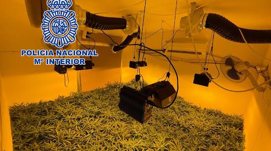Detienen a una pareja okupa con 156 plantas de marihuana en su vivienda
