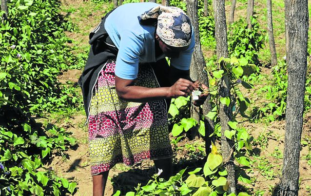 LIMITED HARVEST:  A worker hand-pollinates sweet potato plants at a research centre in Boane, outside Maputo, this week. Picture: JINTY JACKSON