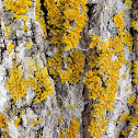 Powdery Sunburst Lichen