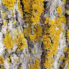 Powdery Sunburst Lichen