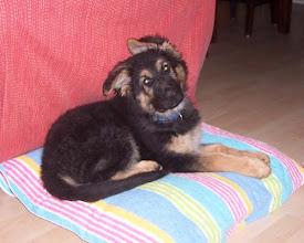 Photo: Dieseltje als pup, met scheve oren