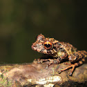 Golden-groined Robber Frog