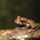 Golden-groined Robber Frog