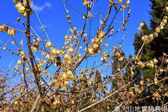 Photo: 拍攝地點: 梅峰-行政中心前 拍攝植物: 蠟梅 拍攝日期: 2015_01_15_FY