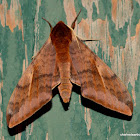 Acosmeryx anceus Hawk Moth