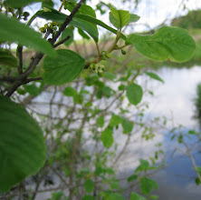 Photo: Glossy Buckthorn, 5.24