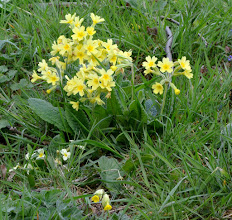 Photo: Primrose, cowslip and their hybrid, false oxlip Manor Vale 10th May 2015 © David Lewis 2015