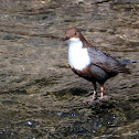 White-throated dipper; Mirlo acuático europeo
