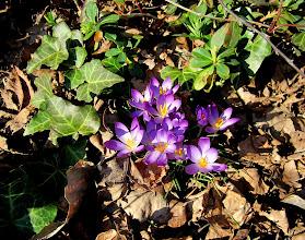 Photo: Crocus!  Flagler Garden