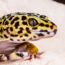Gecko by Garry Chisholm - Animals Reptiles ( macro, leopard gecko, nature, reptile, lizard, garry chisholm )