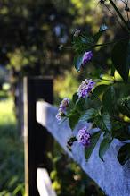 Photo: #flowerphotography  #fence