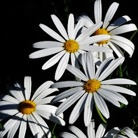 Daisies by Sarah Harding - Novices Only Flowers & Plants ( plant, nature, novices only, garden, flower )