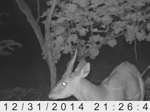 Photo: Bull bushbuck; Macho de golungo.