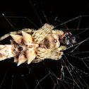 Spine backed spider