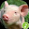 Appp.io - Schwein Klänge