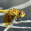 Band-winged meadowhawk (female)