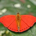 Western Red Glider