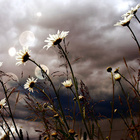 Strormy daisies by Milla Kantola - Nature Up Close Flowers - 2011-2013 ( sky, grass, daisy, storm, flowers )