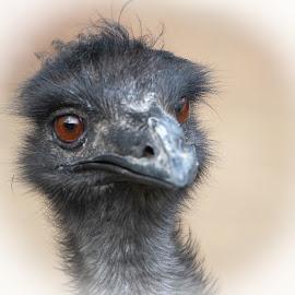 Ogling Ostrich by Maureen McDonald - Animals Birds ( spring, april 2018, 2018, ostrich, cincinnati zoo, cincinnati, zoo, ogling ostrich )