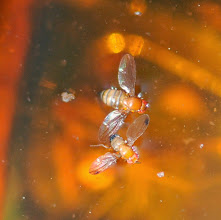 Photo: 1 femelle et un mâle le mâle a une tache noire sur chaque aile