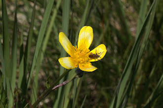 Photo: Ranunculus occidentalis (Nuttall, 1838) - The Western Buttercup with beetle - possibly family Chrysomelidae or Cerambycidae