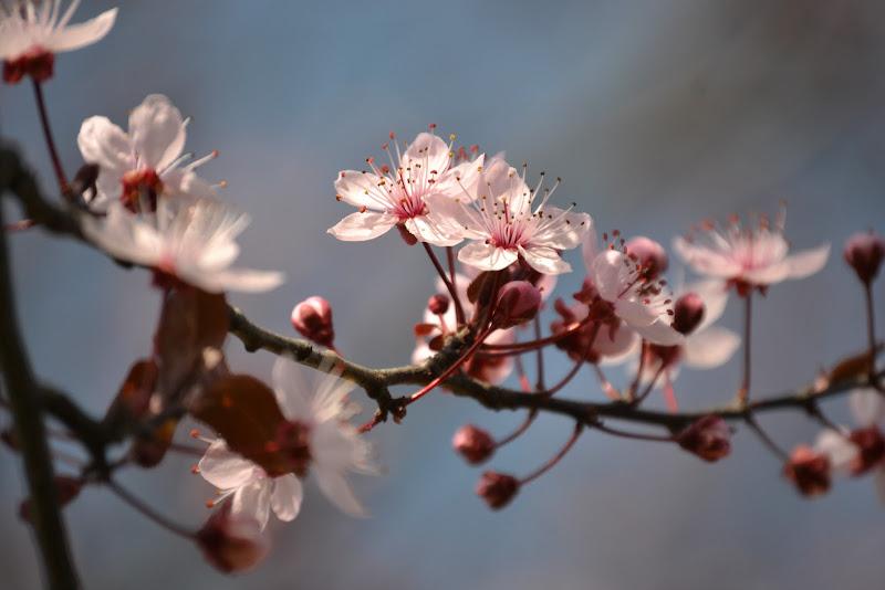 Cherry blossoms di @maurafaustinelli