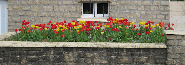 Photo: Day 20 - Lovely Tulips