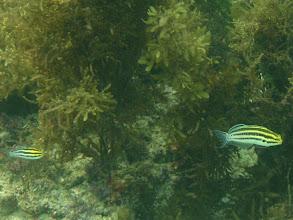 Photo: Meiacanthus grammistes (Striped Flag Blenny), Siquijor Island, Philippines