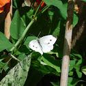 Cabbage Small white