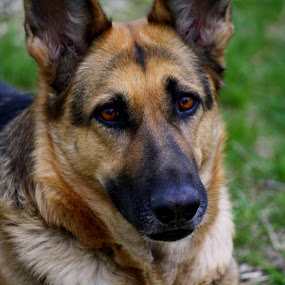 German Shepard by Leslie Hendrickson - Animals - Dogs Portraits ( missouri, dog portrait, dog, german shepherd, portrait,  )