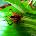 Bush Cricket ♂