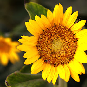 Sun Flower in Desert by Anthony Lawrence Gampon - Nature Up Close Flowers - 2011-2013