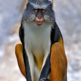 Distinguised by Shelly Wetzel - Animals Other Mammals ( guenon monkey )
