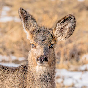 I heard that!! by Tomas Rupp - Animals Other Mammals ( nature, wildlife, mule deer, deer )