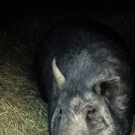 Getting Comfy Cozy by Julie Wooden - Animals Other ( domesticated, north dakota, nature, bismarck, outdoors, summer, farm animal, mammal, swine, animal, pig,  )