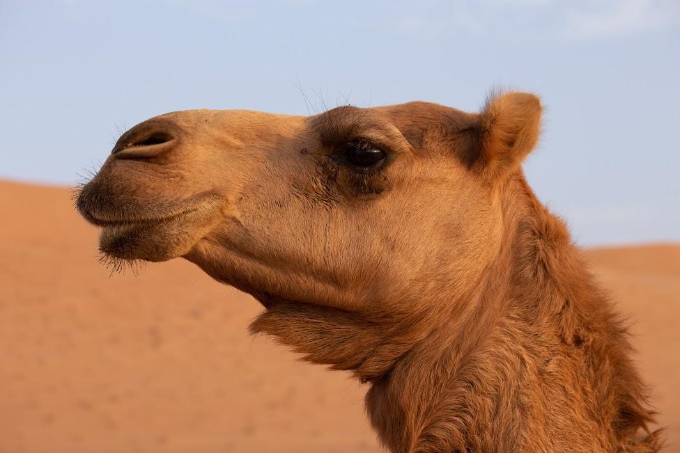 Wahiba Sands, Oman, pustynia, wielbłąd
